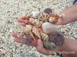Shells found on Captiva Island in February
