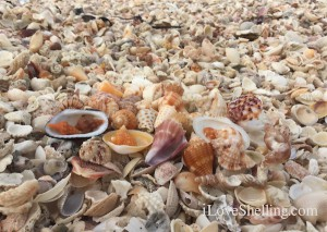 beautiful seashells on shells