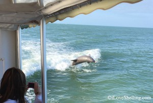dolphin jumping on iLoveShelling shell trip