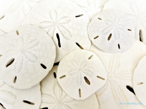 How To Identify Differences Between Live and Dead Sand Dollars