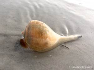 live pear whelk on sanibel beach