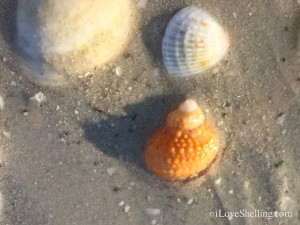 orange chestnut turban shell on sanibel beach