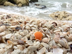 orange rough scallop shell on the beach