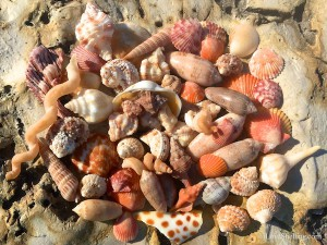 orange seashells
