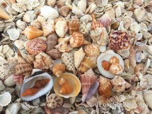 seashells found on Captiva Island Florida