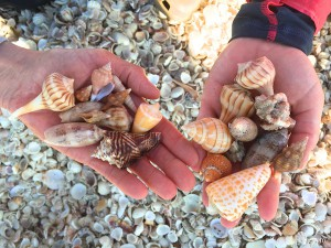 shells of captiva island florida