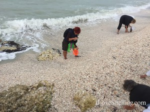 shells pile up southwest florida