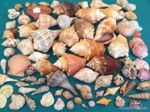 An hour of Sanibel shelling