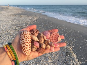 Junonia fragment and seashells found at Bowmans Beach Sanibel