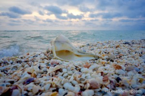 Large Whelk shell found on Sanibel at sunset