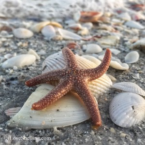 Raise you hand if you Love Shelling along with Sunny Sea Star