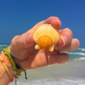 Sanibel lemon pecten shell
