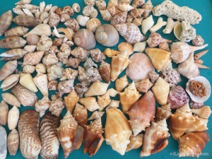 Some faves of Sanibel shelling day