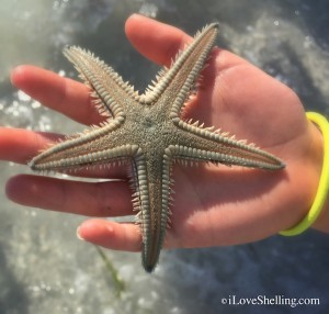Two-Spined sea star starfish Sanibel Island Florida