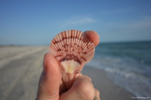Zigzag Flat scallop Bowmans Beach Sanibel