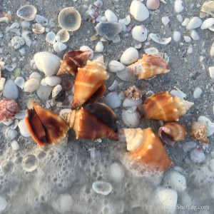 cluster of conchs on Sanibel