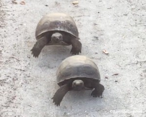 gopher tortoises sanibel