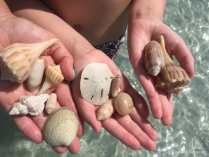 juvenile southern quahog among other shells found on shelling trip