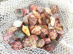 purple scallops and cone shell in netted bag