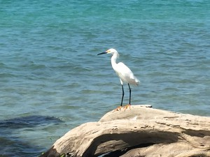 snowy egret on cayo costa