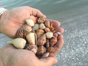 Clark's Sanibel shells one May eve