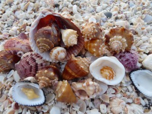 Conchs clams and scallop shells