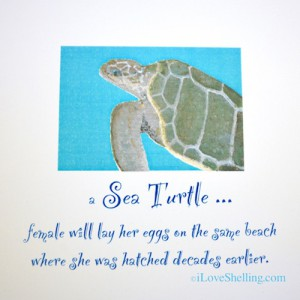 Female Sea Turtle fun fact
