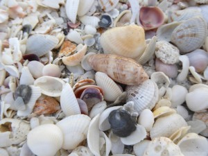 Lettered olive seashell on Sanibel shell pile