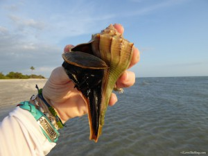 Live lightning whelk at Blind Pass Sanibel
