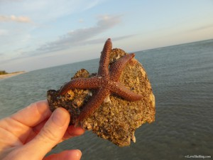 Live starfish stuck on encrusted pen shell Sanibel