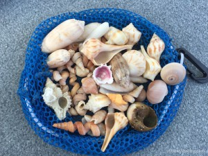 Malease shells from shelling trip to Big Hickory Island