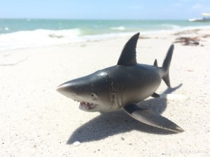 Not so Great White Shark on Cayo Costa Florida beach