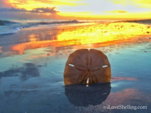 Sand dollar in the Sanibel sunset