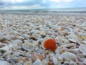 Sanibel orange scallop on shell covered beach
