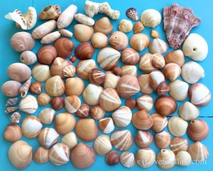 Sea shells found Jupiter Florida beach at Blowing Rock Hole
