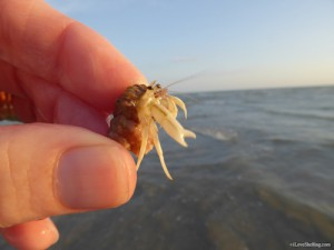 hermit crab inside apple murex Sanibel