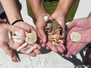 shells and sand dollars collected in SW Florida