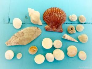 shiva flat coils boring speckled shells