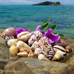 Beautiful Okinawa cone and cowrie shells