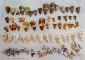 Indo pacific cone shells from Okinawa Japan