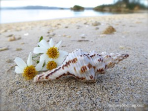Nicobar spindle shell on Okinawa Japan beach