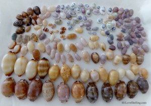 Okinawa Indo Pacific Cowrie mollusk shells