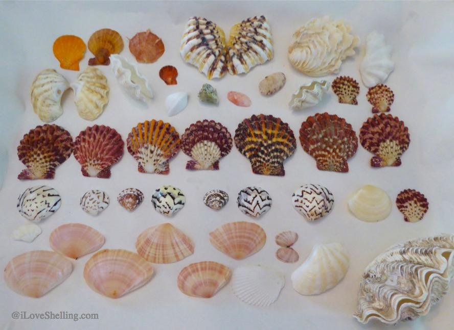 Okinawa Japan Indo Pacific bivalve seashells