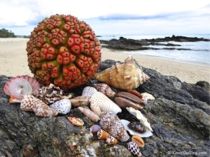 Okinawa Japan seashells with Adan Fruit on the beach