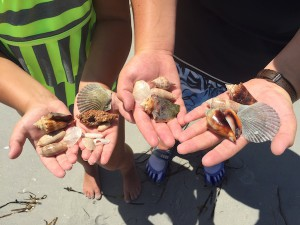 Shells found on Cayo Costa Island Florida