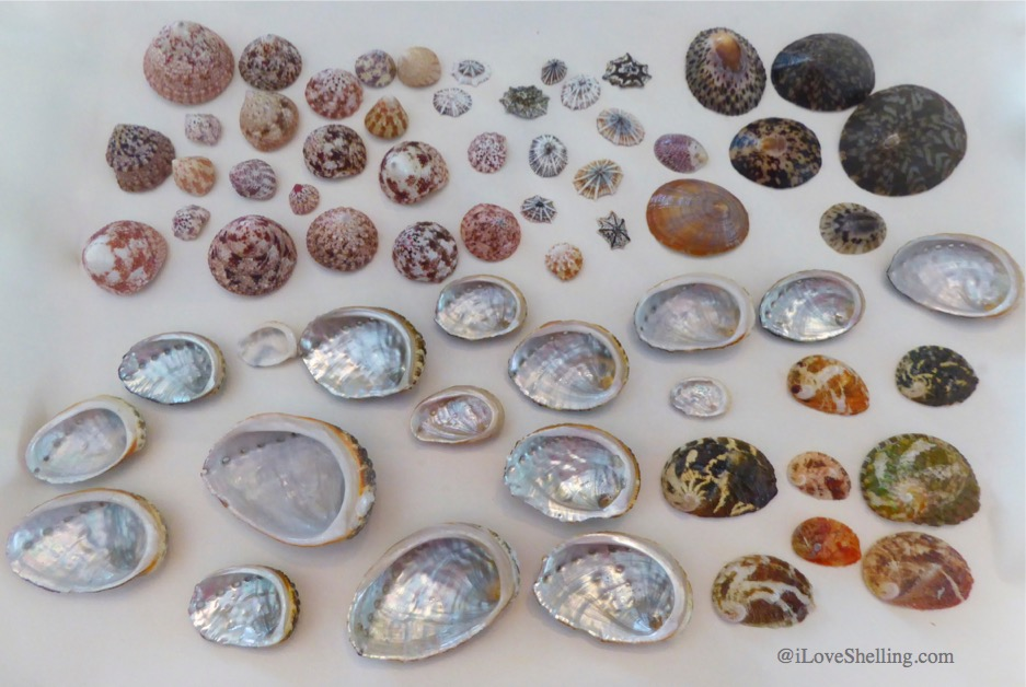 Troches, tops, limpets abalone shell Okinawa Japan