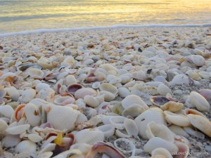 common bivalve shells on sanibel island, florida usa