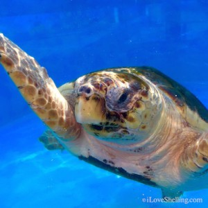 sea turtle rehab jupiter florida