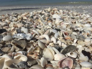 Fargo worm shell in seashell pile on Florida beach