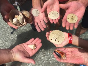 Florida sand dollars and alphabet cones